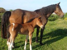Filly foal out of tb cross mare