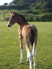 TB cross mare with filly foal