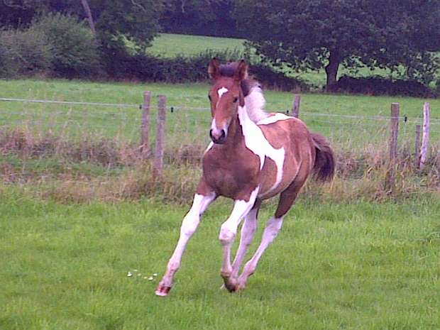 Colt foal 'Joey' by Airborn out of show hunter mare.