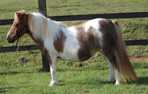 Pics Photos - Shetland Ponies Mating Http Castelloseventos Com Br 22 ...